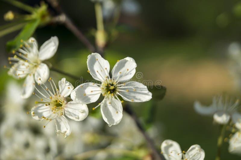 De lentebloesem aan kersen in tuin royalty-vrije stock afbeeldingen