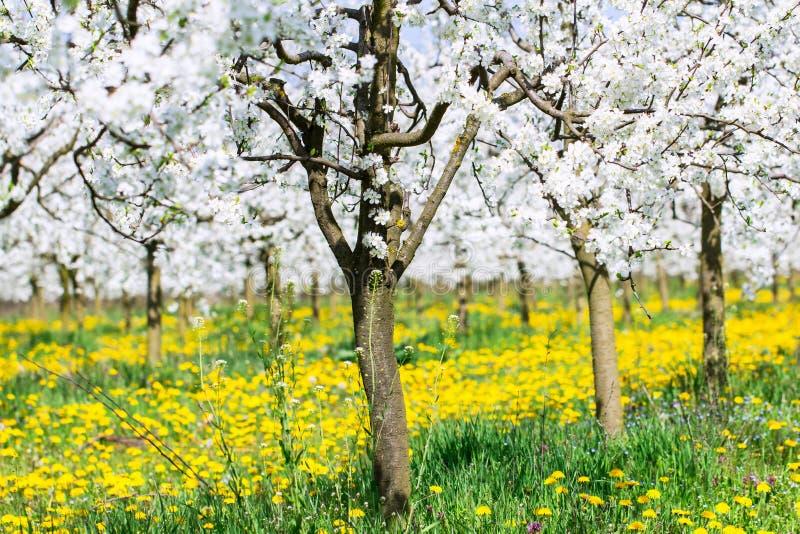 De lentebloesem op de witte achtergrond van de bloem ontluikende boomgaard op bea royalty-vrije stock afbeelding