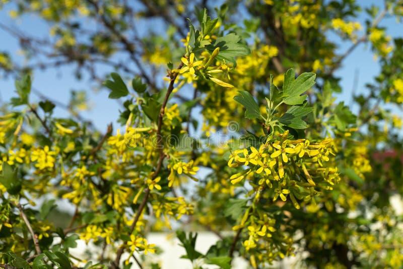 De lentebloesem van de bes in tuin stock foto