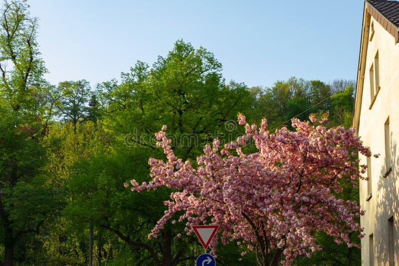 de lentebloesem van de kersenboom royalty-vrije stock foto