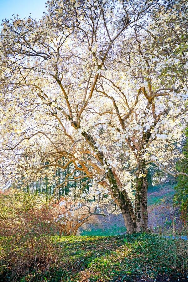 De lentebloesems op boom in de Tuin door het Bltmore-Huis stock foto's