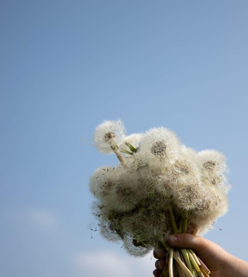 De lenteboeket van witte paardebloemen in de handen van een kind Paardebloemen in de blauwe hemel Ruimte voor tekst stock afbeeldingen