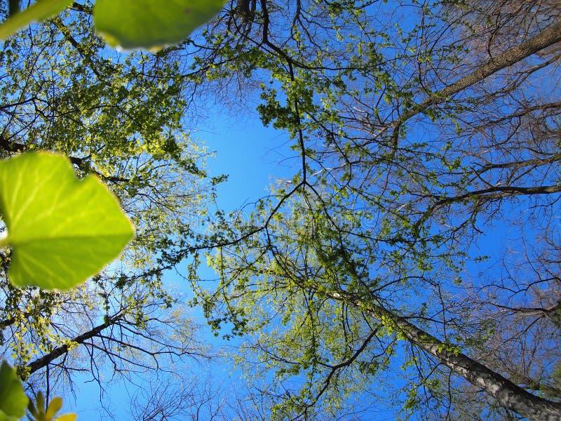 De lentebomen tegen de blauwe hemel royalty-vrije stock afbeelding