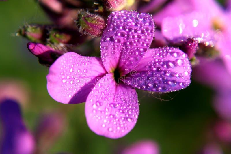 De lentedauw op de bloem DameHesperis matronalis stock afbeeldingen
