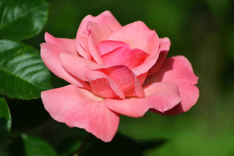 De lentedroom met rozen 1 royalty-vrije stock foto's