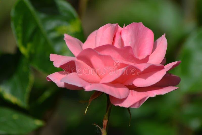 De lentedroom met rozen 2 stock foto's