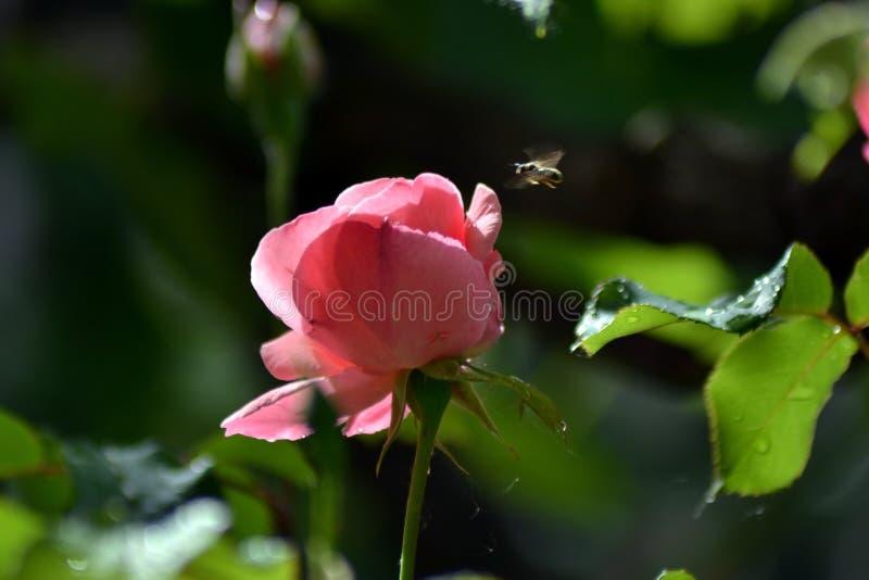 De lentedroom met rozen stock afbeelding