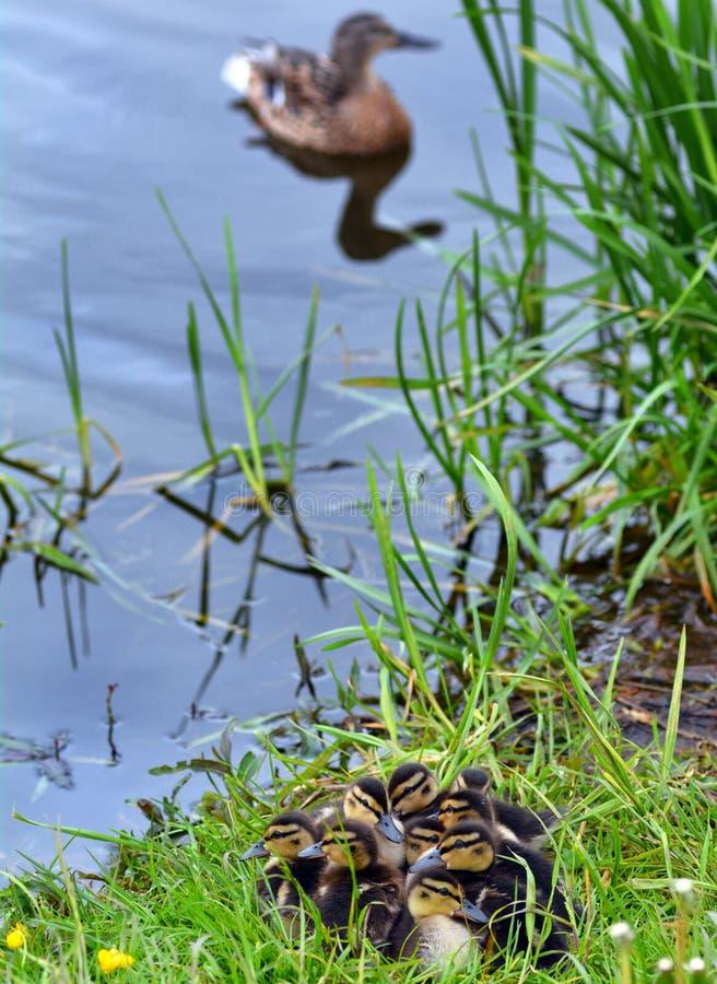 De lenteeendjes bij de vijver stock foto's