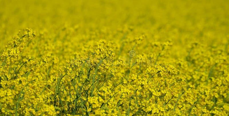 De lentegebied gezaaid oliezaad, Zuid-Bohemen stock fotografie