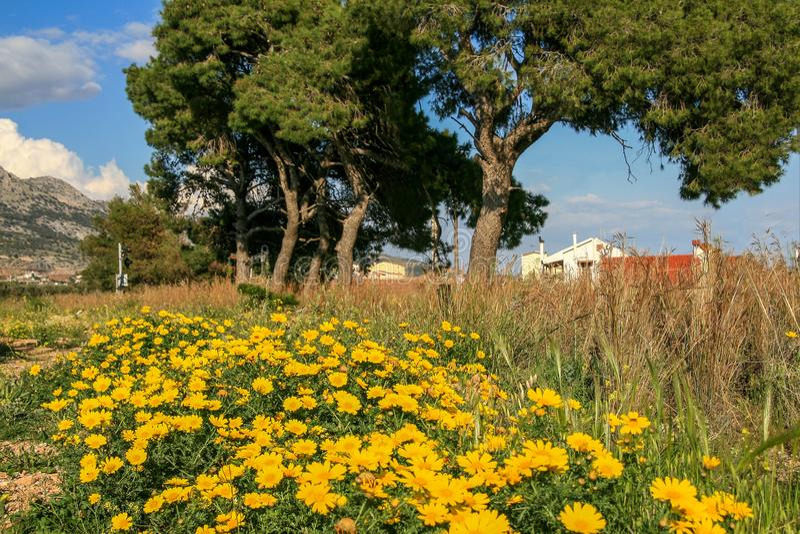 De lentegebied met gele madeliefjes en bomen royalty-vrije stock fotografie