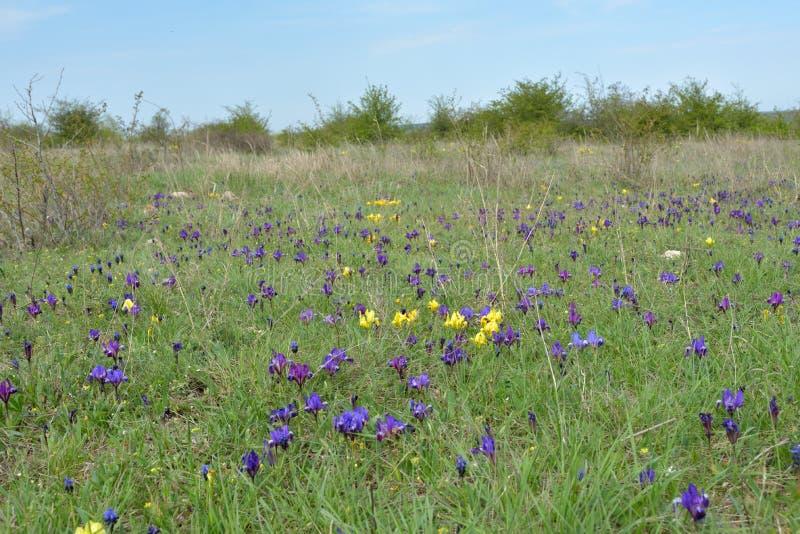 De lentegebied met pygmy irissenbloemen stock fotografie