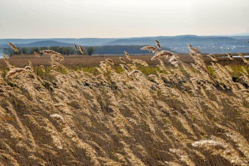 De lentegebied in de oren van geel droog wild gras, rustig landschap royalty-vrije stock fotografie
