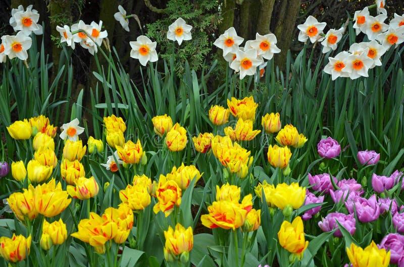 De lentegele narcissen en tulpen stock foto's