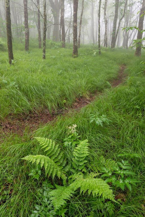 De lentegreens, mistig bos, Noord-Carolina royalty-vrije stock fotografie