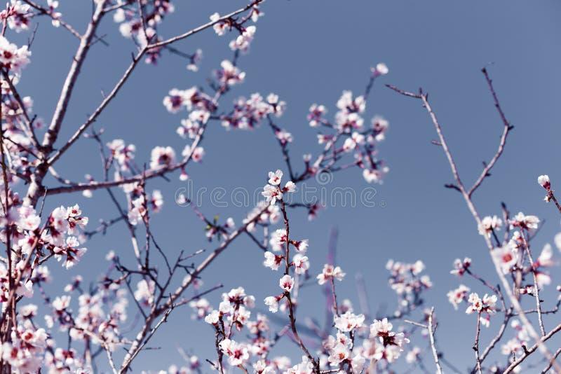 De de lentegrens of de achtergrondkunst met roze amandel komen, mooie aardscène met bloeiende boom, hemel op een zonnige dag van  royalty-vrije stock foto