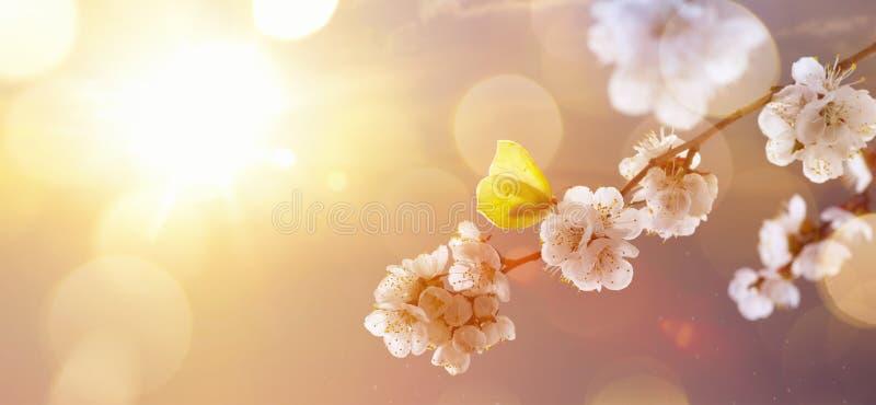 De lentegrens of achtergrondkunst met roze bloeiende boombloesem stock foto