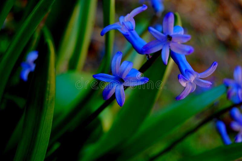 De lentehyacint stock afbeeldingen