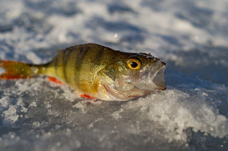 De lenteijs visserij royalty-vrije stock foto's
