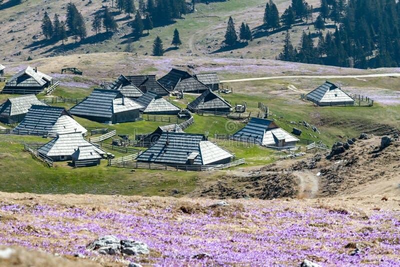 De lentekrokussen in bergdorp Velika Planina stock afbeeldingen