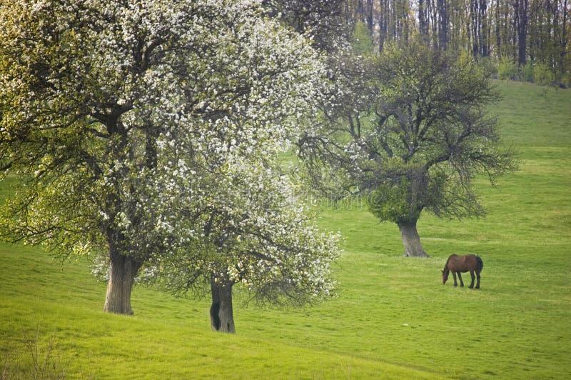 De lentelandschap met groene weide, paard het weiden en bomen in bloei stock afbeelding
