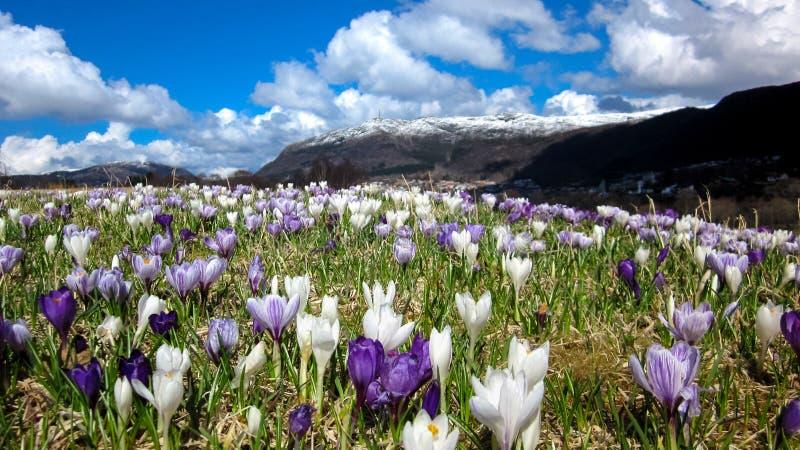 De lentelandschap met Krokussen in de Weide royalty-vrije stock fotografie