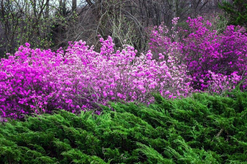 De lentelandschap met roze Rododendronstruik en Jeneverbes royalty-vrije stock foto's