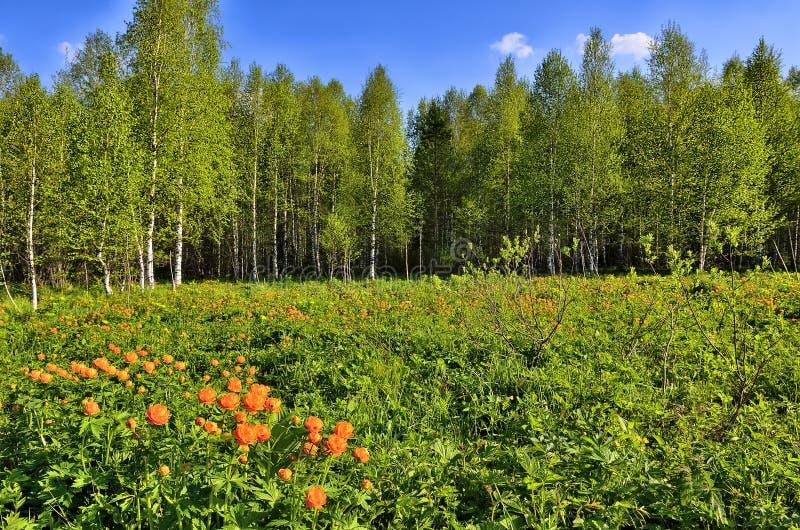 De lentelandschap met wilde bol-Bloemen Trollius-asiaticus royalty-vrije stock foto's