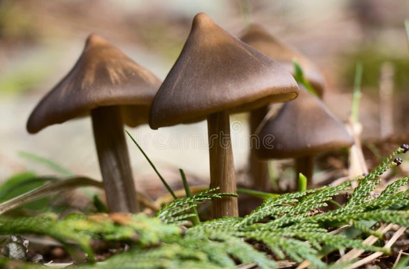 Download De Lentepaddestoelen In Het Bos Stock Afbeelding - Afbeelding bestaande uit noordwesten, paddestoelen: 39110423