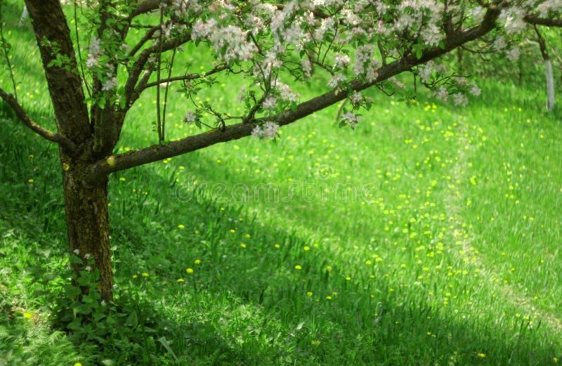 De lentescène met appelboom en bloesembloemen stock foto's