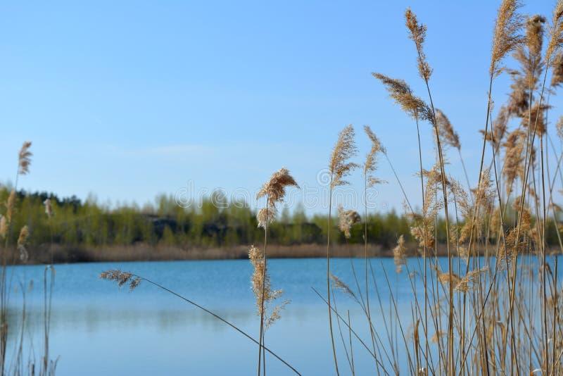 De lentescène met mening aan meer door struikgewas van bies Blauw hemel en water in de lentedag stock foto's