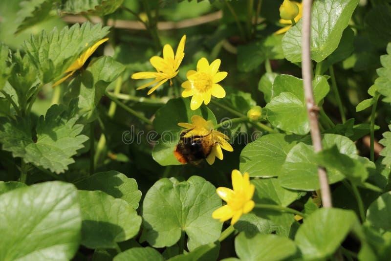 De lentesleutelbloemen stock fotografie