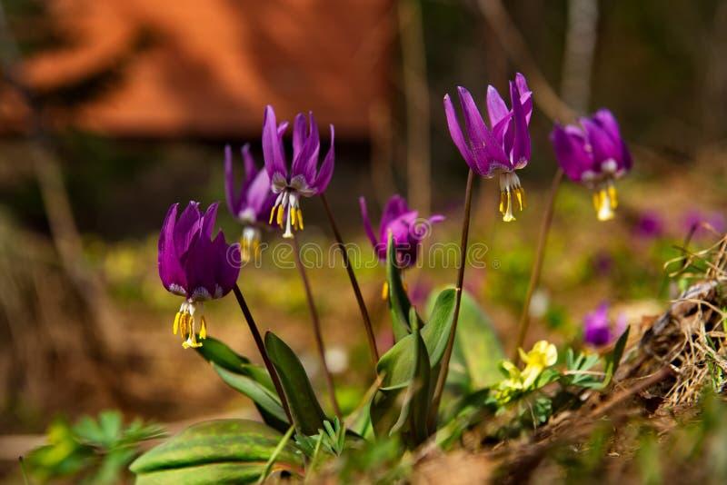 De lentesleutelbloemen van Kuznetsk Alatau stock foto