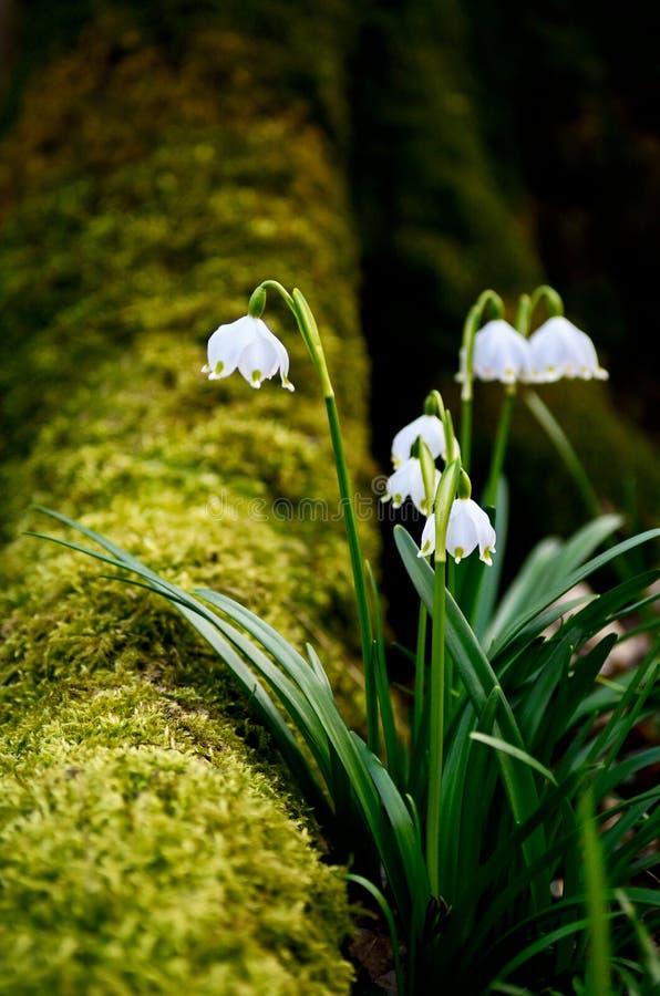De lentesneeuwvlokken royalty-vrije stock foto
