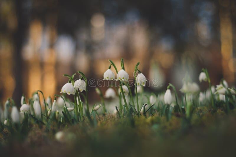 De lentesneeuwvlokken stock fotografie