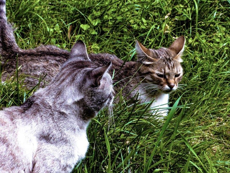 De lentespel van binnenplaatskatten op het gras stock foto's