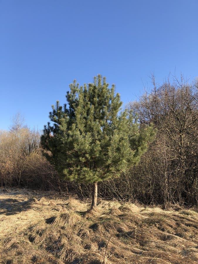 De lentesteppe Pijnboomboom en droog gras op blauwe hemelachtergrond royalty-vrije stock foto
