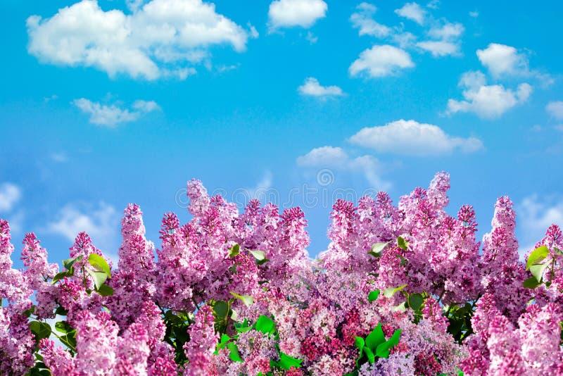 De lentetak van tot bloei komende sering met vlinder De achtergrond van de aardlente met zonlicht Ruimte voor tekst Blauwe hemel  royalty-vrije stock foto