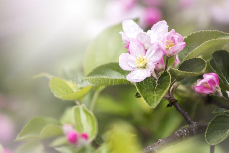 De de lentetijd… nam bladeren, natuurlijke achtergrond toe Witte bloesem Eerst bloeiend royalty-vrije stock foto
