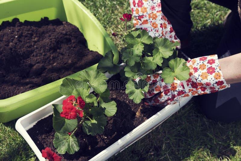 De lentetijd het Tuinieren rode bloemen stock foto's