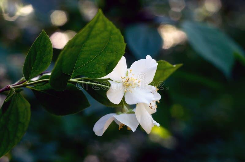 De de lentetijd? nam bladeren, natuurlijke achtergrond toe De close-up van bloeseminstallaties stock afbeelding