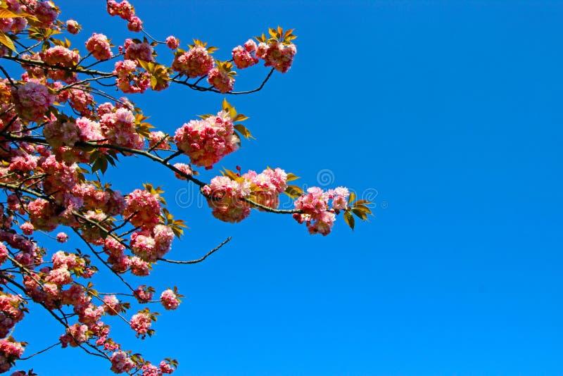 De lentetijd voor Istanboel April 2019, Boom het Bloeien Blauw en Helder Hemelweergeven royalty-vrije stock afbeeldingen