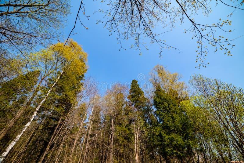 De de lentetransformatie, de vernieuwing van de lente, zal de knoppen van spoedig bloeien Het gebied van Moskou Rusland stock afbeelding