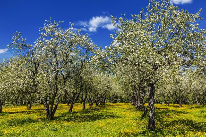 De lentetuin met bloeiende appelbomen en paardebloemen stock fotografie