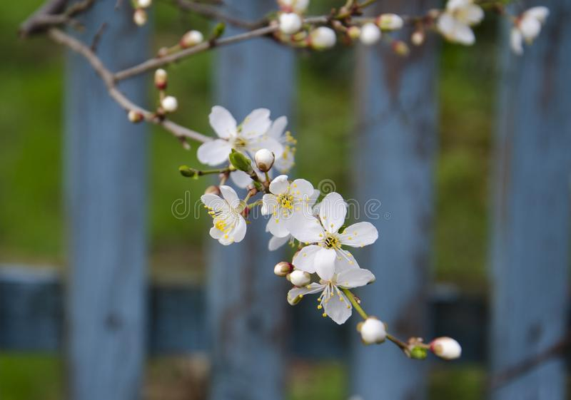 De lentetuinen met tot bloei komende kersen stock foto