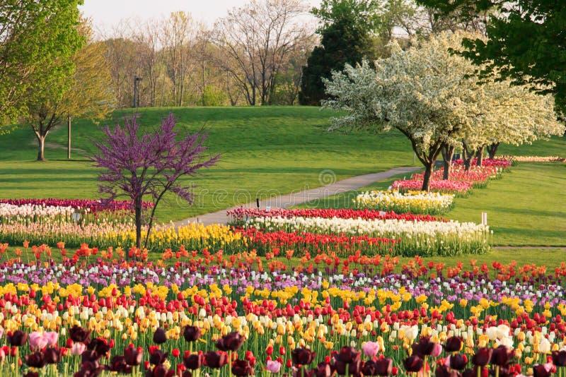 De lentetulpen stock afbeelding