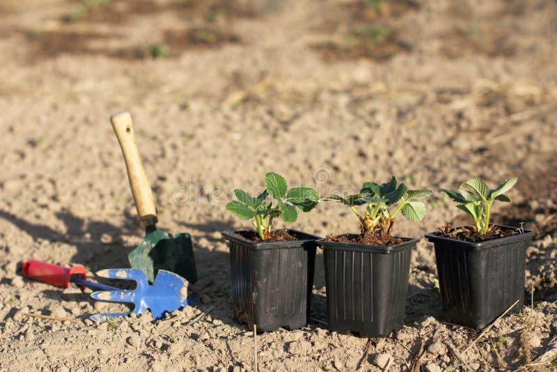 De lentevernieuwing van bessengewassen in de tuin royalty-vrije stock afbeelding
