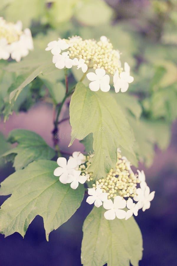 De lenteviburnum, wijnoogst royalty-vrije stock afbeelding