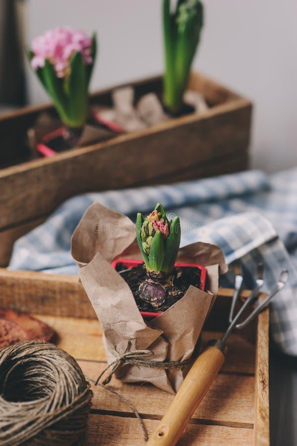 de lentevoorbereidingen thuis Het planten van de bollen van hyacintbloemen Het tuinieren hobby royalty-vrije stock foto's