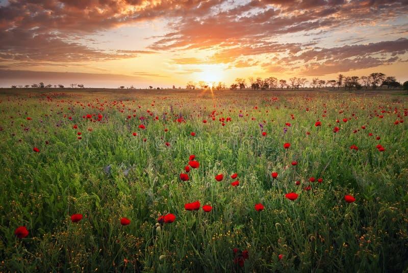 De lenteweide met de bloemen van de bloesempapaver royalty-vrije stock afbeelding