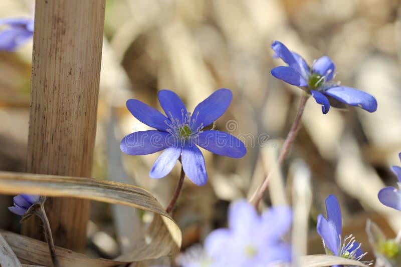 De lenteweide met bloemensleutelbloemen stock foto
